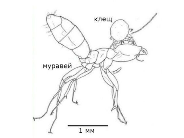 Муравей вида Ctenobethylus goepperti и его паразит