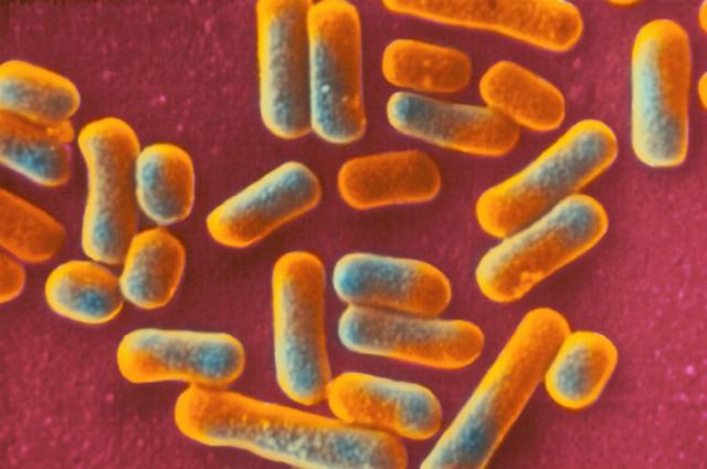 Бактерии Lactobacillus gasseri (иллюстрация BSIP SA).