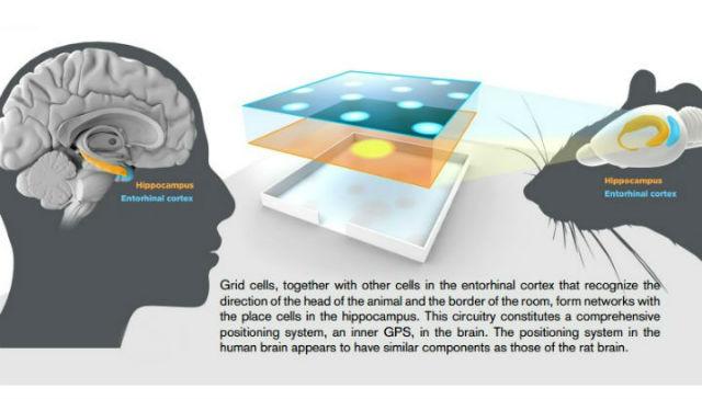 Положение гиппокампа (показан жёлтым цветом) и энторинальной коры (голубым) в головном мозге человека и крысы (иллюстрация Nobel Committee).