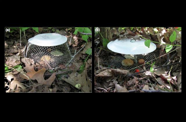 Для экспериментов было сооружено 2 типа лотков: открытых, для желающих перекусить любого размера, и обёрнутых сеткой – только для малых членистоногих (фото Youngsteadt et al.).