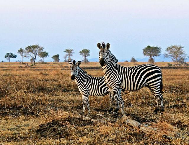 Ранее считалось, что своим окрасом зебры защищаются от хищников и насекомых-разносчиков инфекций (Sajjad Sherally Fazel/Wikipedia).