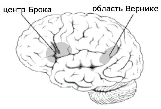 Верхняя височная асимметричная яма расположена в центре Брока — одной из зон мозга, отвечающих за коммуникацию (иллюстрация Wikimedia Commons).