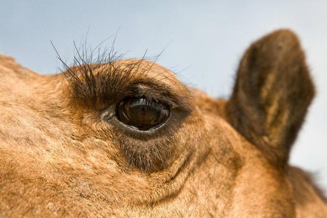 Ресницы защищают глаза верблюда от сухого воздуха, а полупрозрачные веки помогают перенести песчаные бури (фото Craig Lovell).