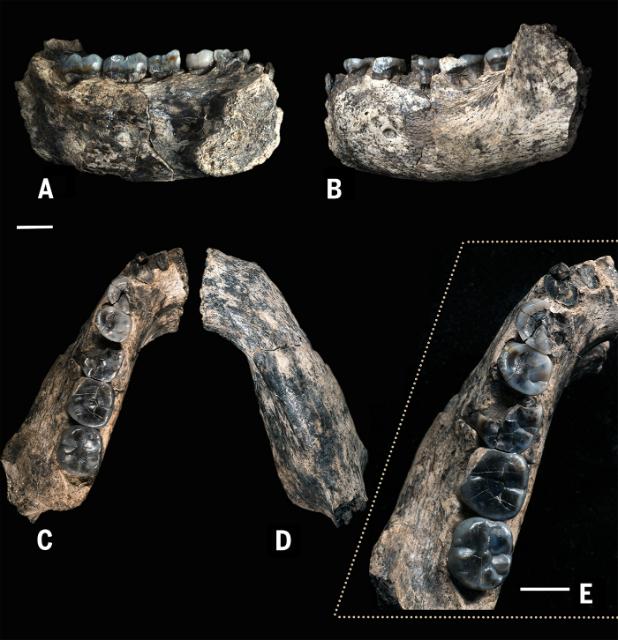 Экземпляр LD 350-1 почти на 400 тысяч лет старше всех известных на сегодняшний момент останков представителей рода Homo (фото William Kimbel).