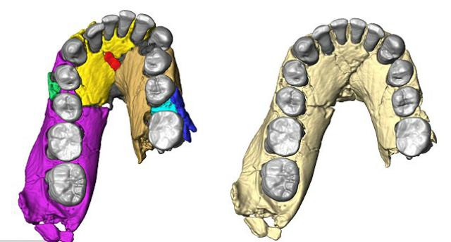 Реконструкция челюсти показывает, что она была куда более примитивной, нежели у человека прямоходящего или человека разумного, и была больше похожа на челюсть австралопитека афарского (иллюстрация Fred Spoor).