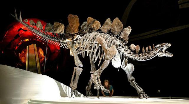 Скелет Софи, выставленный в Музее естествознания в Лондоне, на 85% состоит из настоящих костей, недостающие его элементы заменены репликами (фото PA).