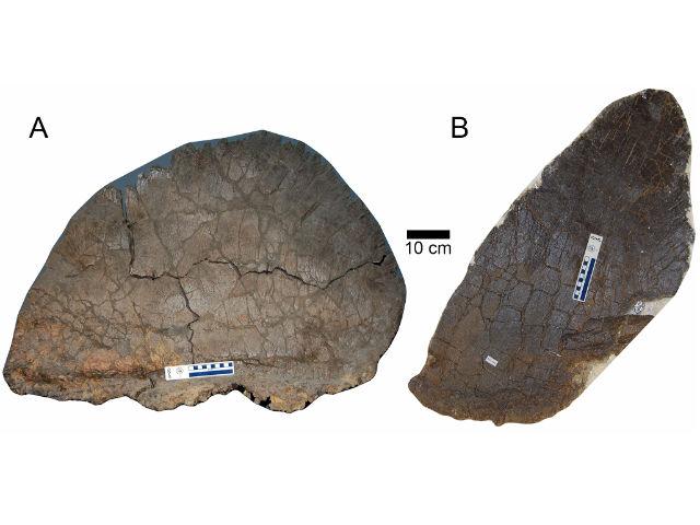 Два типа спинных пластин стегозавров (фото Evan Saitta).