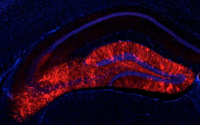 Поперечное сечение гиппокампа. Клетки мозга, светящиеся красным, ранее были активны при кодировании положительных воспоминаний. Оптическая реактивация этих клеток вызывает положительные воспоминания у животных (фото Steve Ramirez).