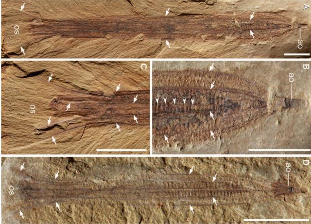 Окаменелые отпечатки гребневика вида Thaumactena ensis (фото Ou et al. Sci. Adv. 2015;1:e1500092).