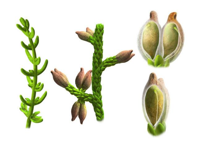 Реконструкция стебля, листьев и семени растения, основанная на анализе окаменелых образцов (иллюстрация Oscar Sanisidro).