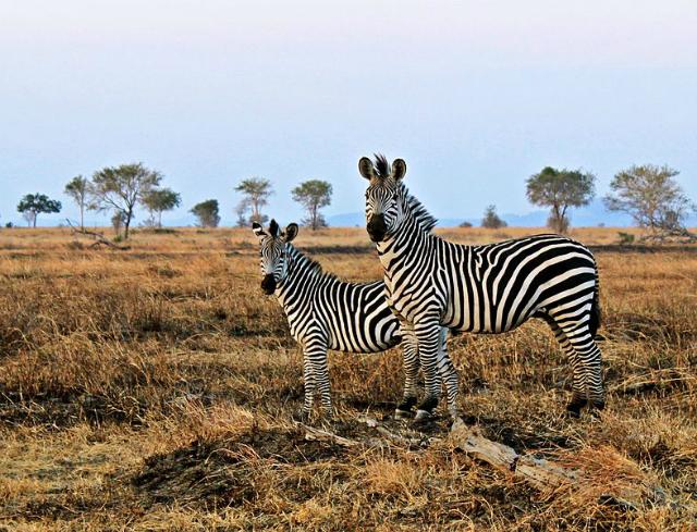 Две зебры в национальном парке Микуми (фото Sajjad Sherally Fazel/Wikimedia commons).