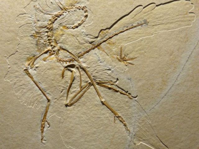 """Анализ окаменелостей показал, что пернатые """"штаны"""" не имели практической цели, поскольку перья были симметричными (фото H. Tischlinger)."""