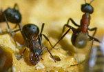 Укусы муравьев предохраняют от кишечных расстройств