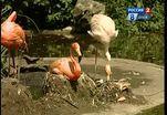 В дрезденском зоопарке подкрашивают фламинго