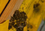 Вымирание пчел грозит гибелью человечества