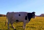 Сколько литров молока в день дает корова