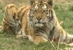 Тигры умеют плакать