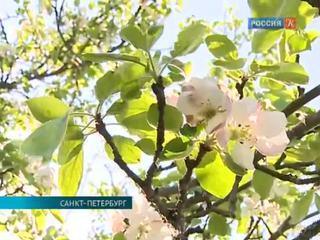В усадьбе Демидовых сохранились старинные сорта яблонь
