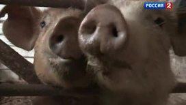 Кровавые пятачки: что толкает свиней на людоедство?