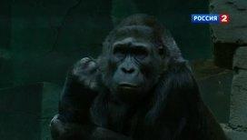 Кризису среднего возраста подвержены даже приматы