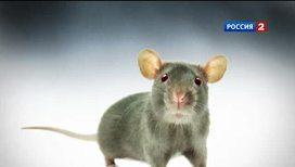 Российские генетики заставили крыс подобреть