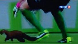 Куница прервала футбольный матч