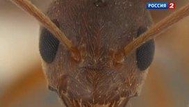Бешеные муравьи пожирают деньги и гаджеты