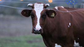 Чем дольше лежит корова, тем больше вероятность, что она встанет: самые нелепые открытия