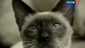 Сиамская кошка - обитатель королевских покоев