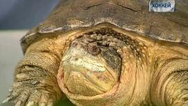 Черепаха способна поймать и съесть птицу