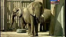 Первый слон в неволе родился в Вене