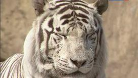 Белые тигры в природе не выживают