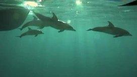 Дельфины способны развивать скорость до 35 км/час