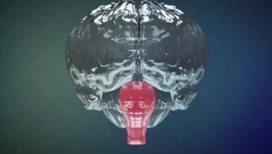 Сенсация! У человека обнаружено целых три мозга